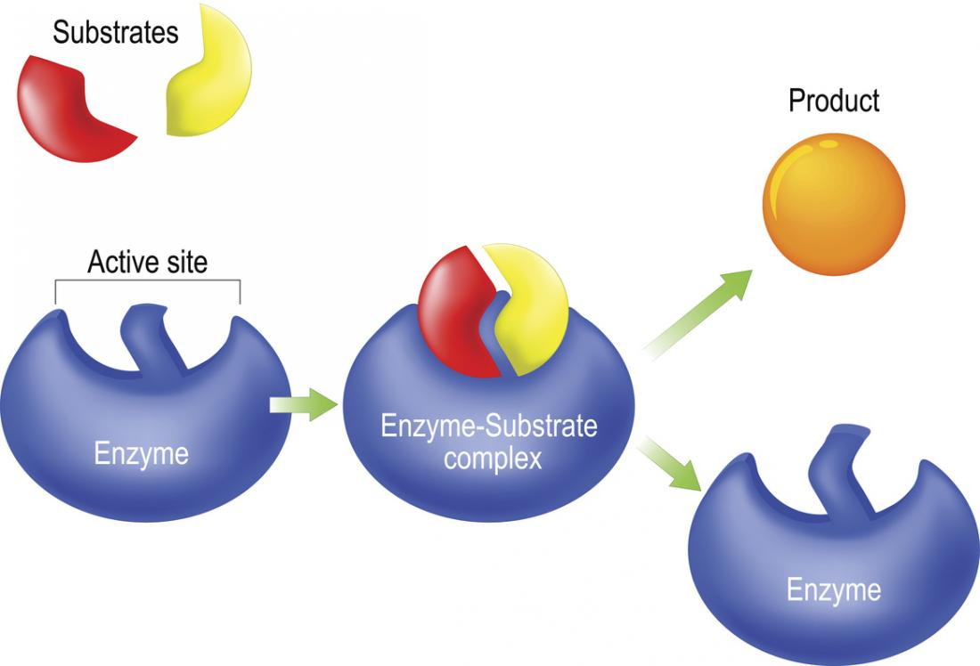 Enzymes Function, definition, and examples