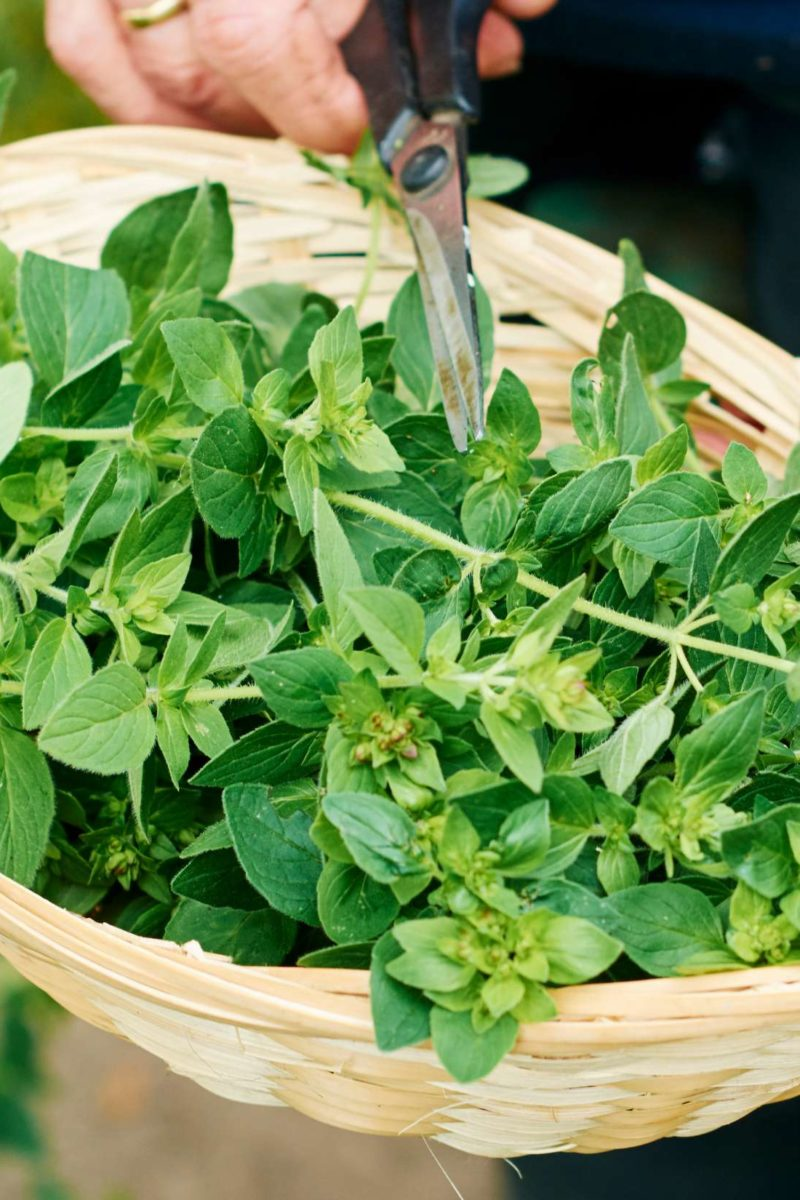Diet Mediterranean: Oregano: Health Benefits, Uses, And Side Effects