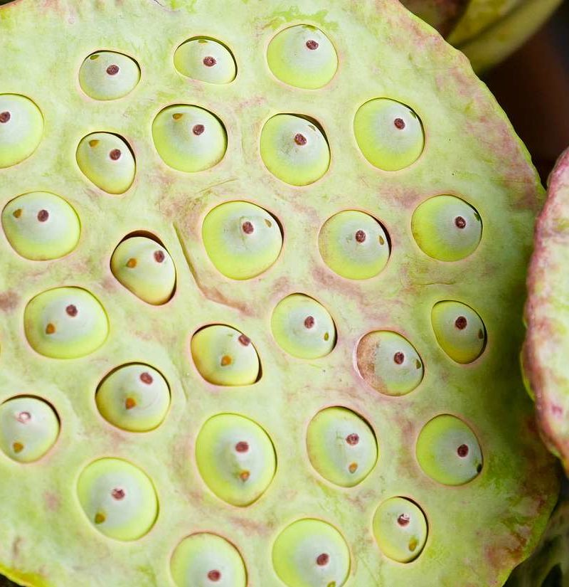 Trypophobia Fact Or Fiction
