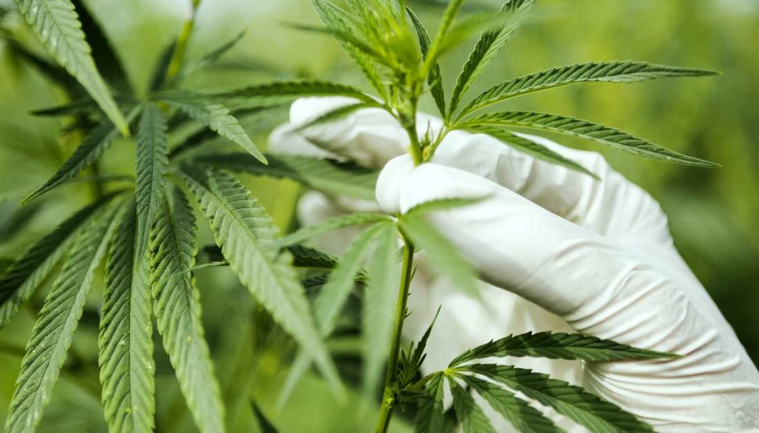 cannabis and the brain: recent studies shed new light  medical news today
