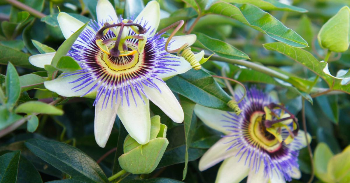 Passionflower For Anxiety And Sleep Benefits And Side Effects