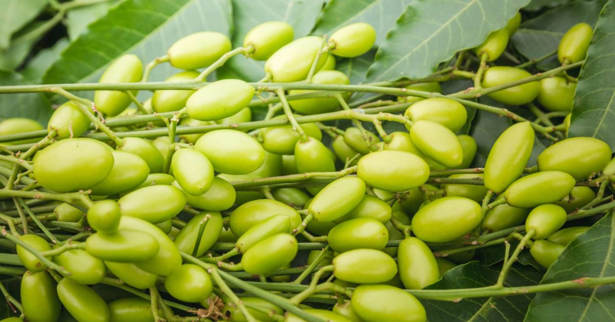 Benefits and Uses of Neem