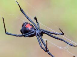 Black Widow Spider Bite Causes Appearance Symptoms And Treatment