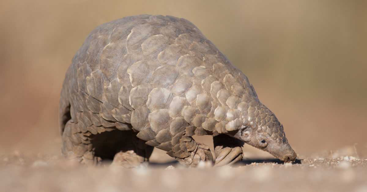 Coronavirus: Pangolins may have spread the disease to humans