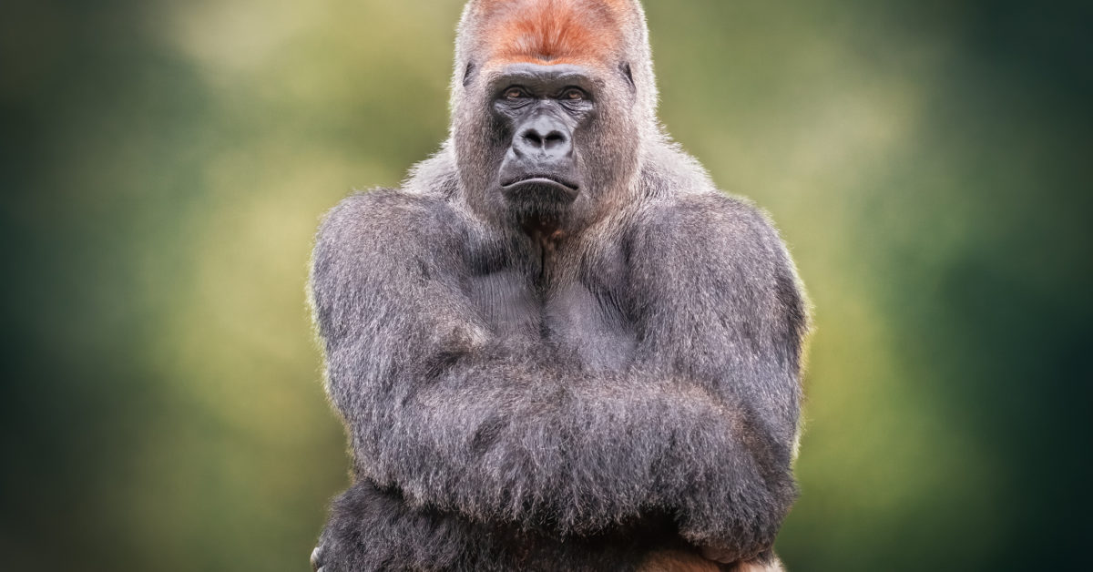 Could COVID-19 impact great apes?