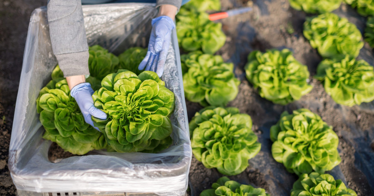 Could a protein grown in lettuce help heal broken bones faster?