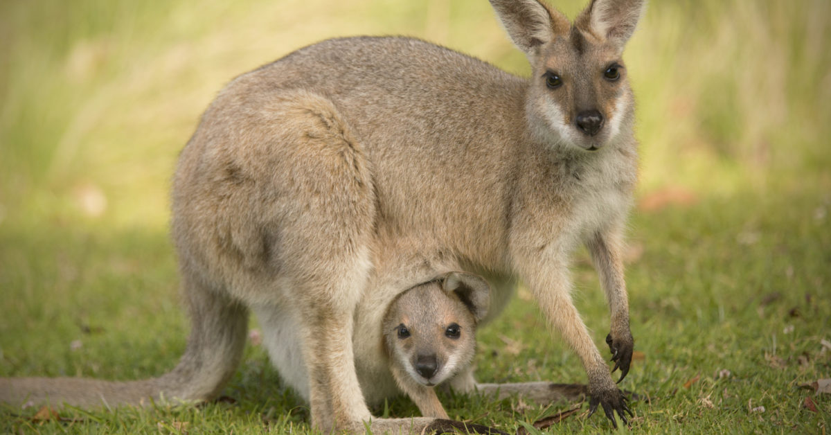 The swamp wallaby's unique reproductive strategy