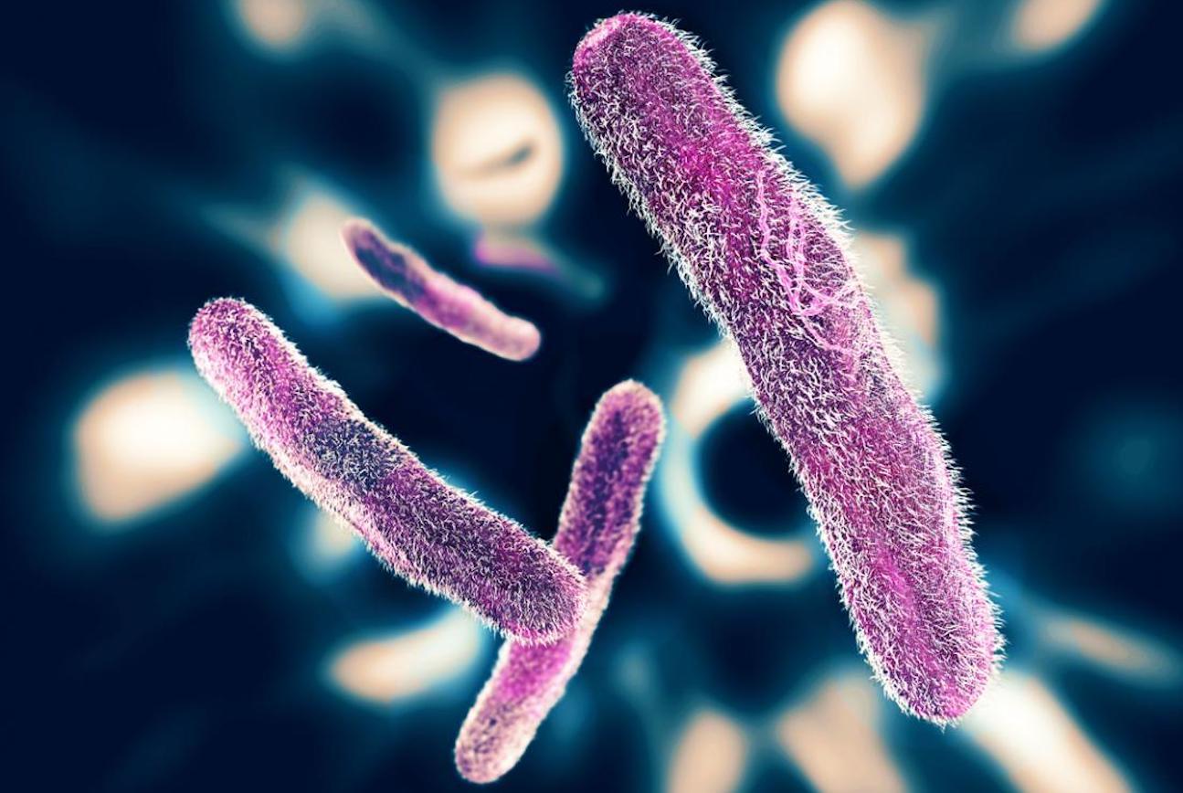 dysentery bacillus parazita